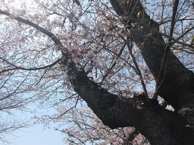 桜の写真2020 (6)