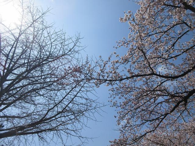 桜の写真2020 (5)